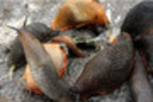 Fears of cannibalistic monster slug breeding frenzy in UK's...